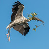 Wood Stork carrying a small load for a new nest