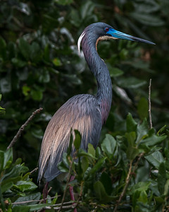 Tricolored Heron in breeding colors