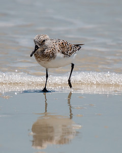 Sanderling in full color checking out his reflection.