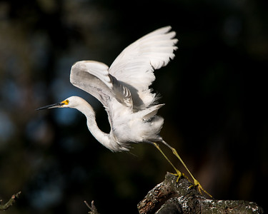 Snowy Egret ready to go