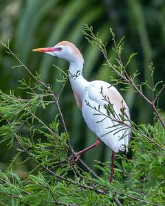 """Cattle Egret in """"Technicolor"""" display"""