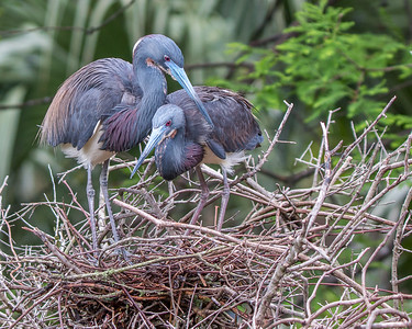 These two Tricolored Herons were completing the building of a nest.