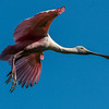 Roseate Spoonbill in flight