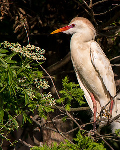 Cattle Egret in full color is sizing up the flowers.