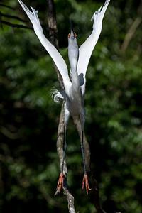 Snowy Egret demonstrating jumping jacks
