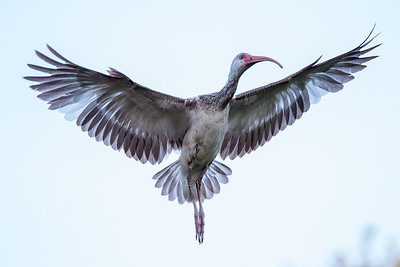 Juvenile White Ibis in flight.
