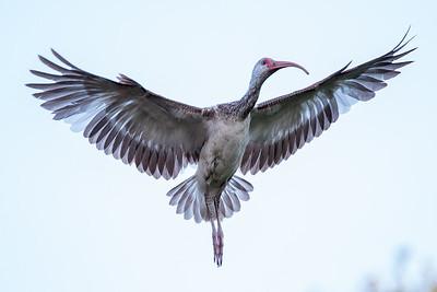 Juvenile White Ibis in flight.