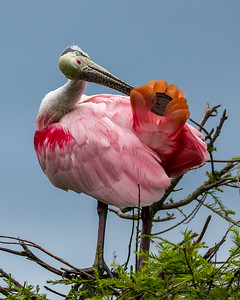 Roseate Spoonbill preening its orange tail