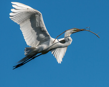 Great White Heron in nest building mode.