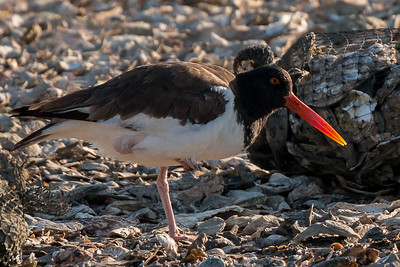 Backlit Oyster Catcher