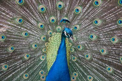Peacock on display
