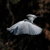 Snowy Egret on the go...
