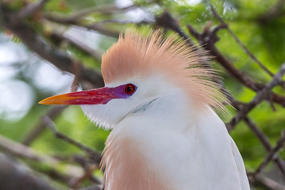 Cattle Egret close-up with bright colors