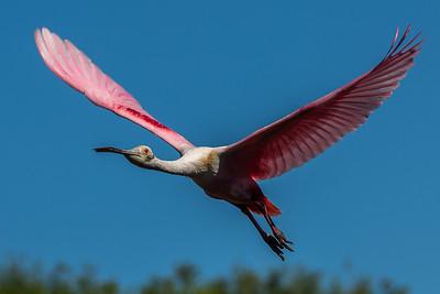 Roseate Spoonbill in flight.