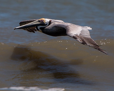 Brown Pelican skimming the ocean waves...