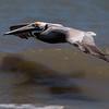 Brown Pelican skimming the ocean waves...