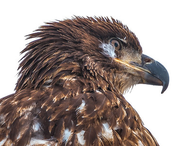 A juvenile Bald Eagle ready for spring.