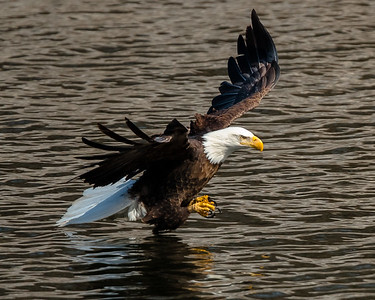 Bald Eagle skimming the water before plunging in.