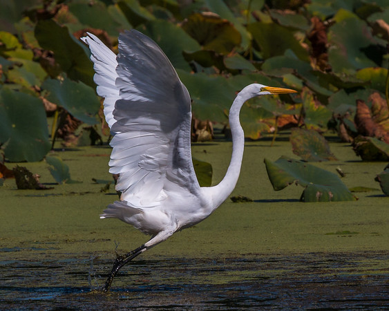 I like capturing the Great Egret just as it takes off.  They take flight on short runs of 50m-100m, making for fun photo opportunities.