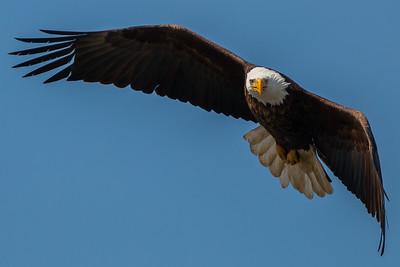Bald Eagle at Ellis Park, Cedar Rapids, IA.