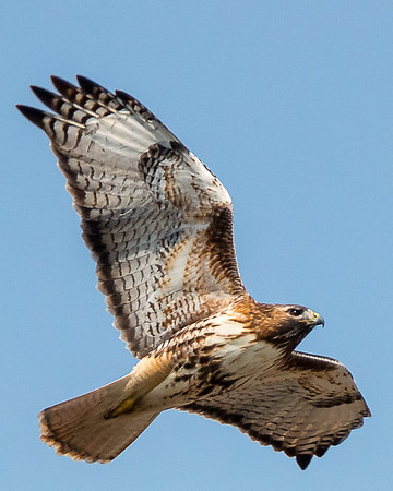 Red-tailed Hawk at Ellis Park, Cedar Rapids, IA.