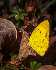 """Little Yellow"" Butterfly"