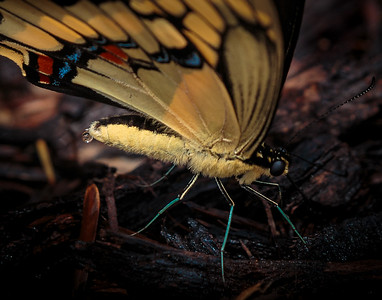 Giant Swallowtail Butterfly with water drop