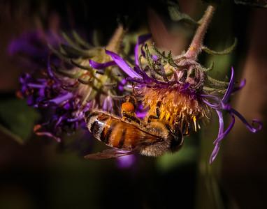 Honeybee loaded with pollen