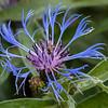 Centaurea Montana (Mountain Cornflower)