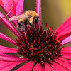 Honeybee on a Red Coneflower