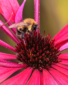 Honeybee on a Red Coneflower