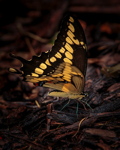 Giant Swallowtail Butterfly shooting water