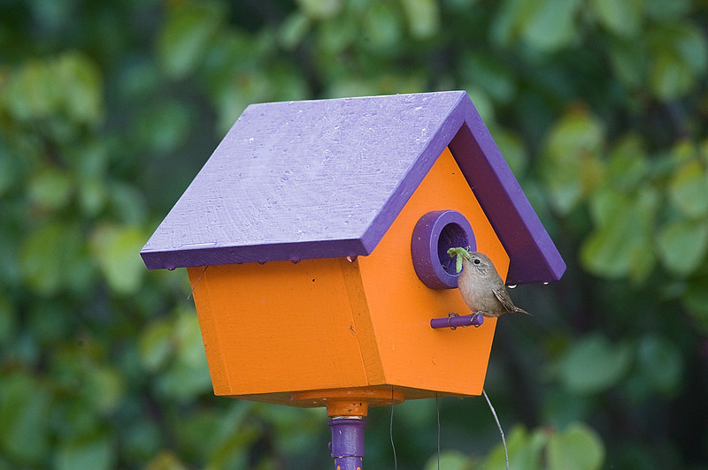 Photo of a wren perched on one of my Wren Houses, with three tasting looking green worms in her mouth.  The babies are chirping like crazy waiting for the treats.