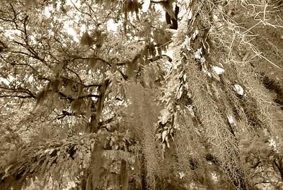 Spanish Moss in Savannah, GA