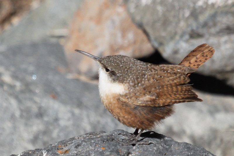 Canyon wren in Ancho Springs near Rio Grande Jan. 30, 2013
