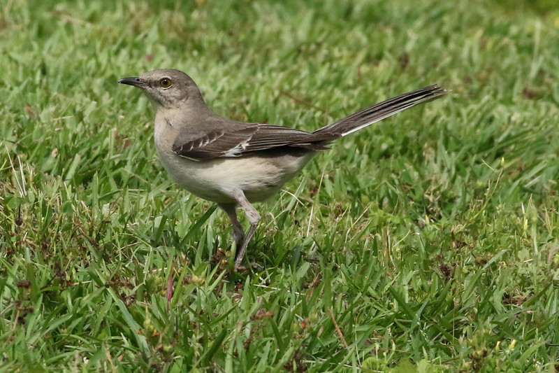 Florida's Northern Mockingbird