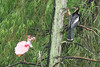 Anhinga and Roseate Spoonbill