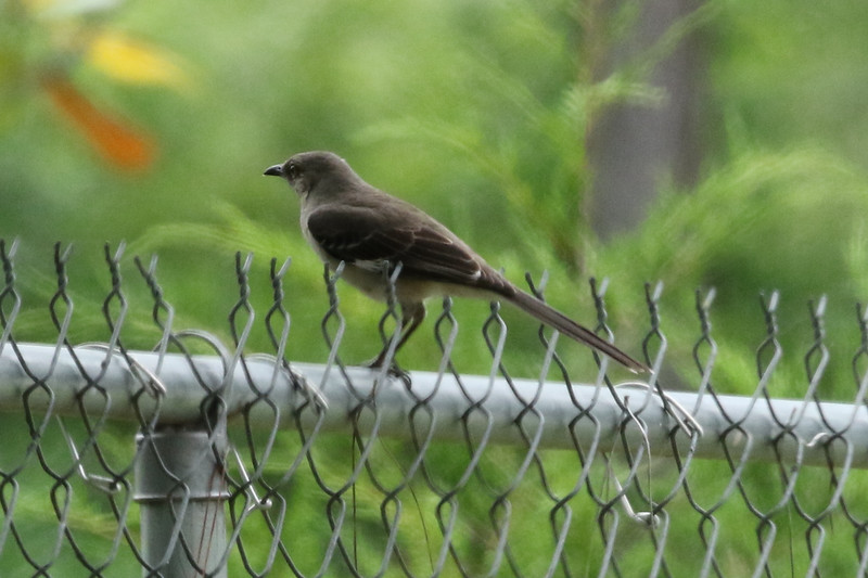Mississippi's Northern Mockingbird