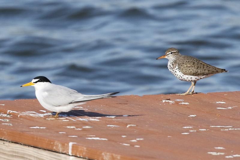 A Rare Least Tern