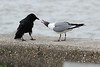 Round One Goes to Laughing  Gull