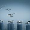 Blue Mood Gulls, by David Everett