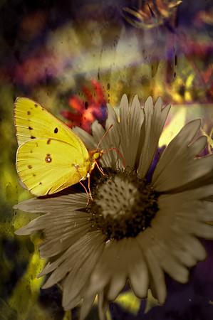 ButterFlower