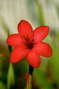 Red Iris 2