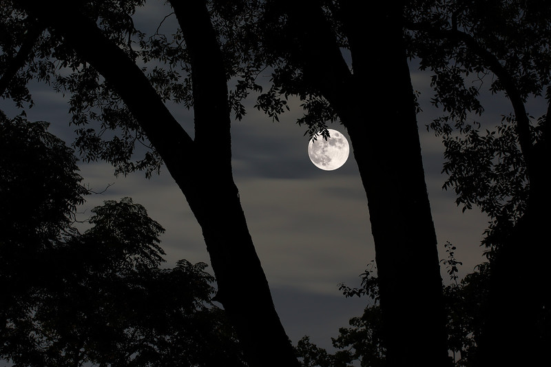 Moon thru Trees