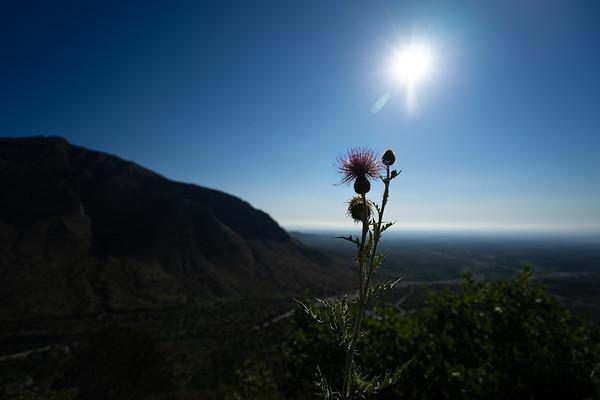 Climbing Gaudelupe Peak. Sun Thistle.