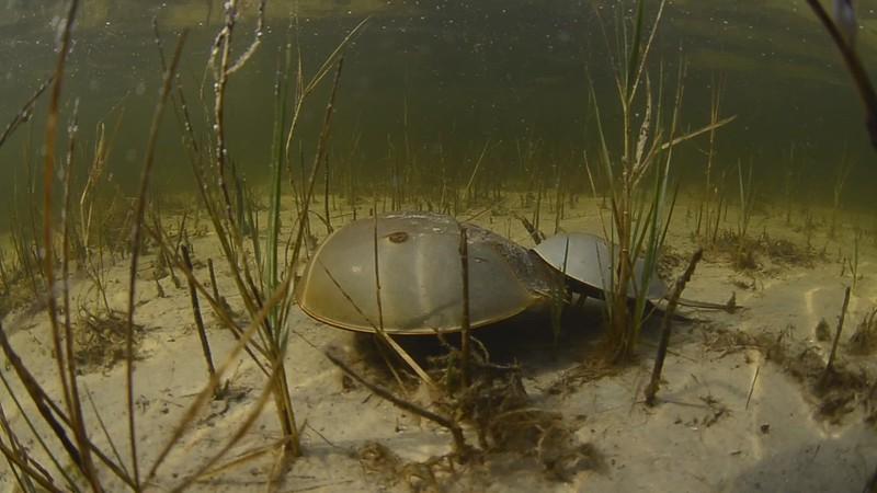 horeshoe crabs