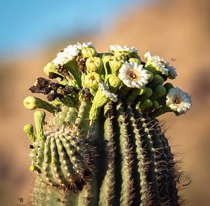 hawk cactus-5661