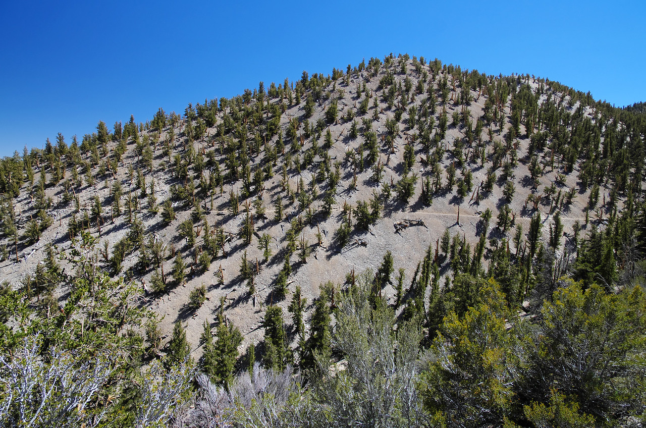 Methuselah Grove in the Ancient Bristlecone Pine Forest;  This picture was taken about 3 ½ miles in or so and it's a long straight-away that is a tell-tale sign that you're near the end of 1 mile or so are of this trail with the most spectacular scenery.  I have to admit that there is an area between mile 2 and 3 that is very boring for the most part and we saw some folks walking this trail in reverse fashion, probably for that same reason.