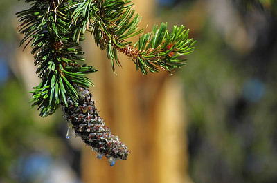 I can't remember where online I read, but I came across an article on the internet that stated that the average pine needle on these trees last something like 30 years.  This is a very nice shot of the needles, a bristlecone pine cone up close, and a beautiful bokeh with a nice orange hint of a healthy ancient Bristlecone Pine in the background.