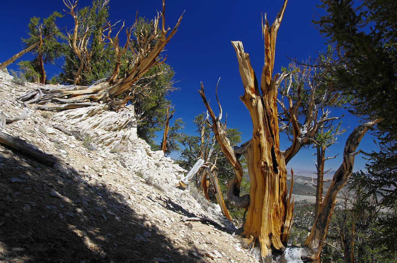 Methuselah Grove in the Ancient Bristlecone Pine Forest. This picture was taken about 1 ½ miles in and this spot sits about 50ft off the trail.
